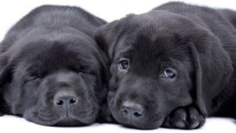 labrador der perfekte familienhund bild der frau. Black Bedroom Furniture Sets. Home Design Ideas